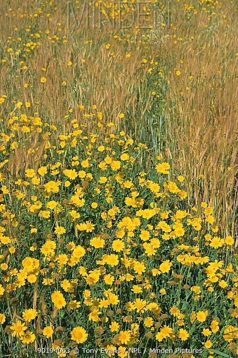 Corn marigolds flowering in cereal field (Chrysanthemum segetum) Scotland, UK  -  Tony Evans/ npl