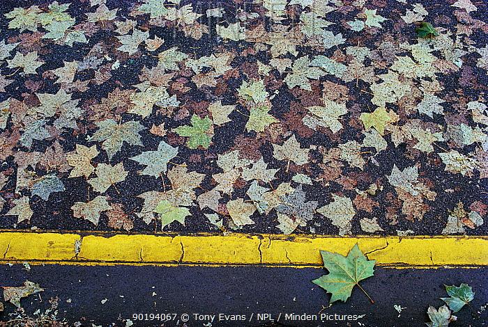London plane tree leaves on road (Platanus x hispanica) UK  -  Tony Evans/ npl