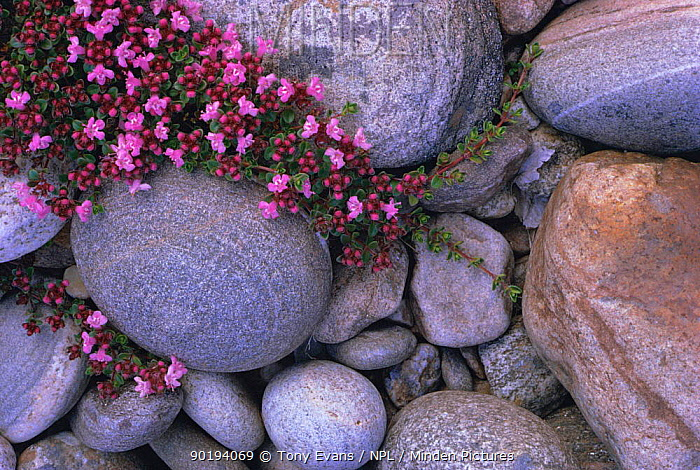 Wild thyme flowering (Thymus serpyllum) Scotland, UK  -  Tony Evans/ npl