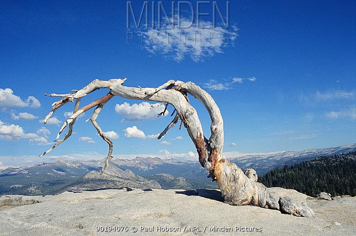 Jeffrys pine tree (Pinus jeffreyi) Yosemite NP, Wyoming, USA  -  Paul Hobson/ npl