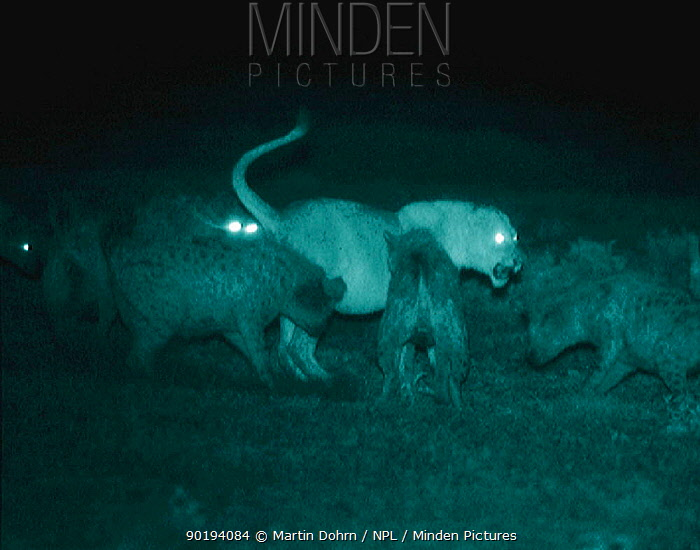 Spotted hyaenas harrass lioness Serengeti NP, Tanzania, East Africa Infra-red image taken at night using 'Starlight Camera' technology without artificial lighting Ngorongoro Conservation Area,  -  Martin Dohrn/ npl