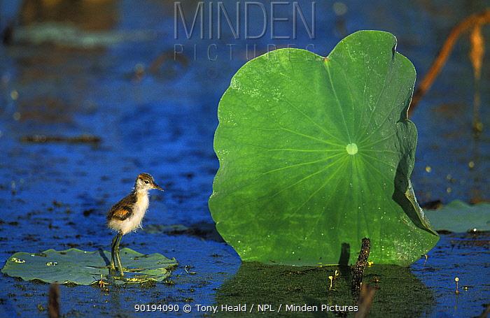 Lotus bird, Comb crested jacana chick on leaf in pond (Irediparra gallinacea) Western Australia, Australia  -  Tony Heald/ npl