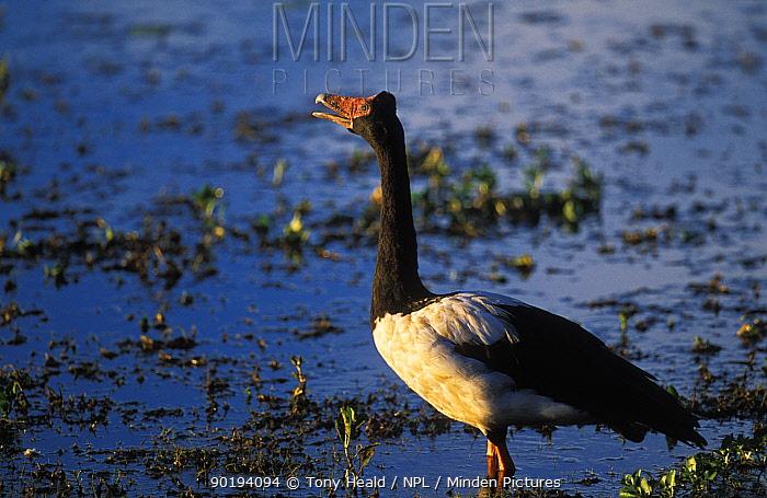 Magpie goose male (Anseranas semipalmata) Kakadu NP, Northern Territory, Australia  -  Tony Heald/ npl