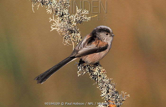Long tailed tit on lichen (Aegithalos caudatus) Scotland, UK  -  Paul Hobson/ npl