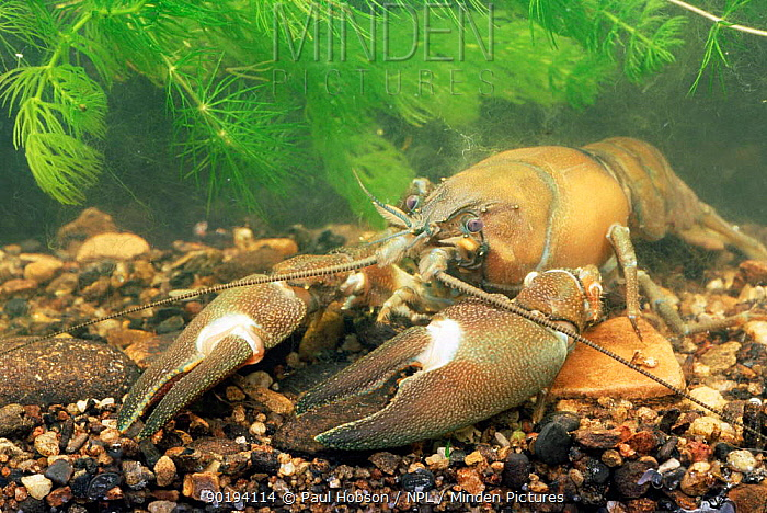 Signal crayfish (Pacifastacus lenuisculus) American species now living wild in UK  -  Paul Hobson/ npl