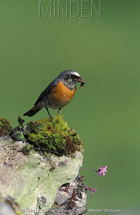 Redstart male (Phoenicurus phoenicurus) Peak District, Derbyshire, UK  -  Paul Hobson/ npl