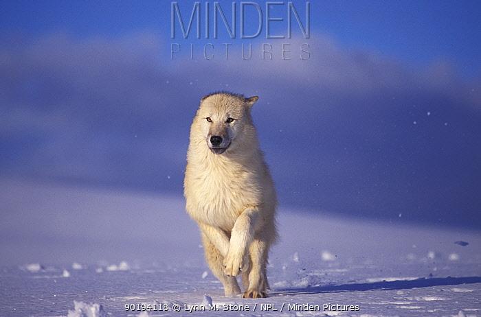 Arctic wolf running in snow (Canis lupis arctos) captive USA  -  Lynn M. Stone/ npl
