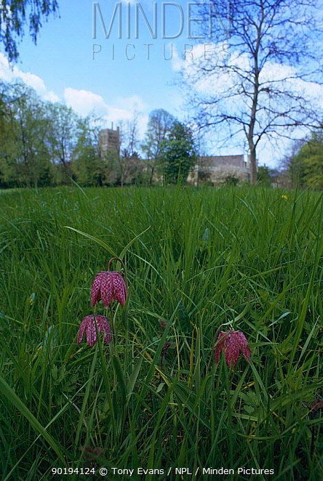 Snake's head fritillary (Fritillaria meleagris) Oxford, UK  -  Tony Evans/ npl