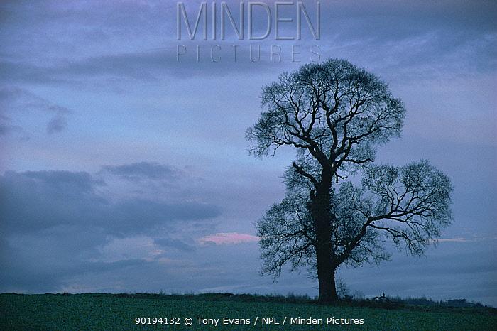 English elm tree silhouette in winter (Ulmus procera) UK  -  Tony Evans/ npl