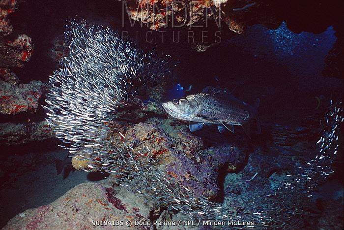 Tarpon (Megalops atlanticus) feeding on dwarf herring, Grand Cayman, Caribbean  -  Doug Perrine/ npl