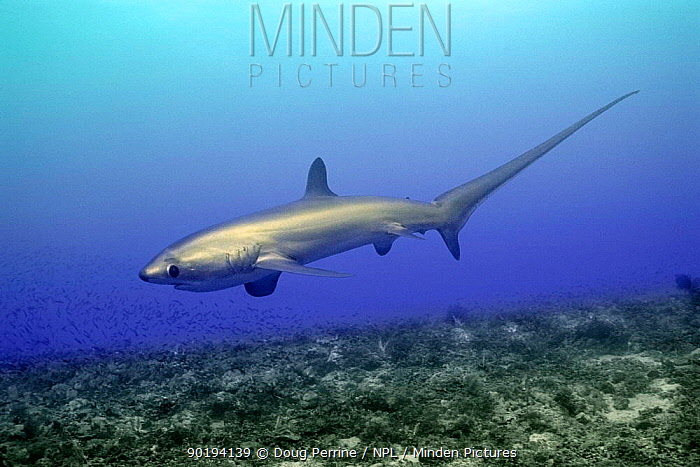 Subadult Pelagic thresher shark (Alopias pelagicus) Philippines, Pacific Ocean  -  Doug Perrine/ npl