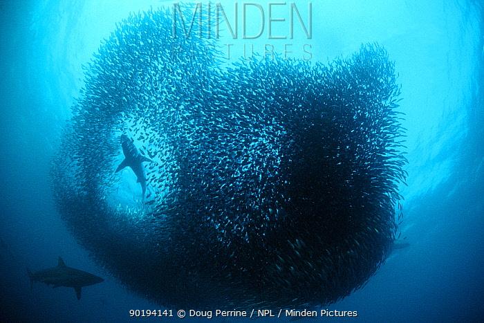 Copper sharks, Bronze whalers (Carcharhinus brachyurus) predating sardine baitball,  -  Doug Perrine/ npl