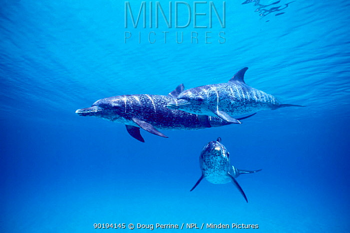 Atlantic spotted dolphins underwater (Stenella frontalis) Bahamas, Caribbean Sea  -  Doug Perrine/ npl