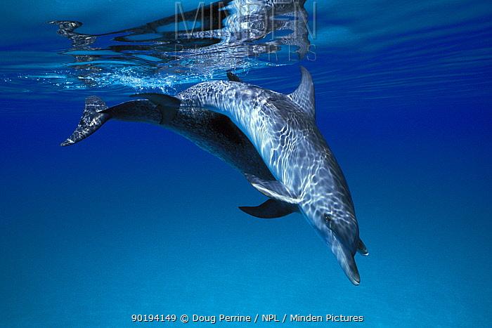 Atlantic spotted dolphins underwater (Stenella frontalis) Bahamas, Caribbean Sea, Atlantic  -  Doug Perrine/ npl