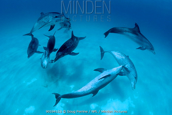 Atlantic spotted dolphins in mock combat (Stenella frontalis) Bahamas, Caribbean  -  Doug Perrine/ npl