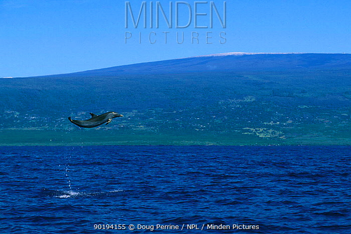 Pantropical spotted dolphin leaping high above surface (Stenella attenuata) Kona, Hawai  -  Doug Perrine/ npl