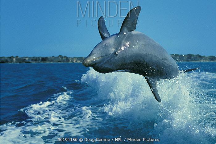 Wild sociable Bottlenose dolphin leaps in boat wake (Tursiops truncatus) Turks and  -  Doug Perrine/ npl