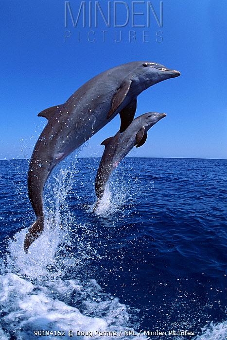 Bottlenose dolphins leaping (Tursiops truncatus) Honduras Captive  -  Doug Perrine/ npl