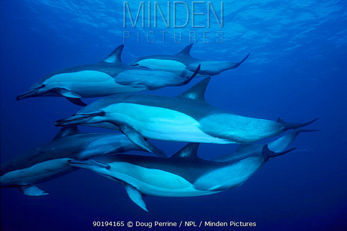 Pod of Long beaked common dolphins (Delphinus capensis) Transki, South Africa, Indian  -  Doug Perrine/ npl