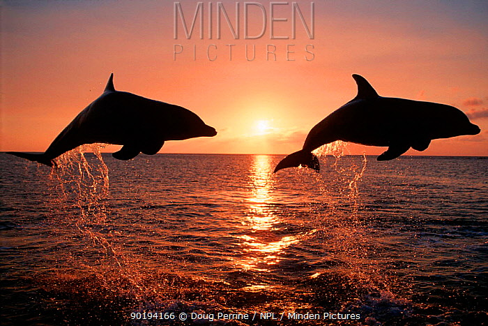 Two Bottlenose dolphins leaping at sunset (Tursiops truncatus) Caribbean Captive  -  Doug Perrine/ npl