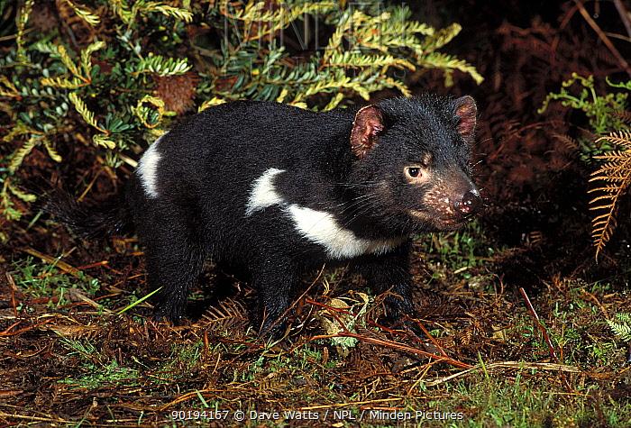 Tasmanian devil (Sarcophilus harrisii) taken in wild, Tasmania  -  Dave Watts/ npl