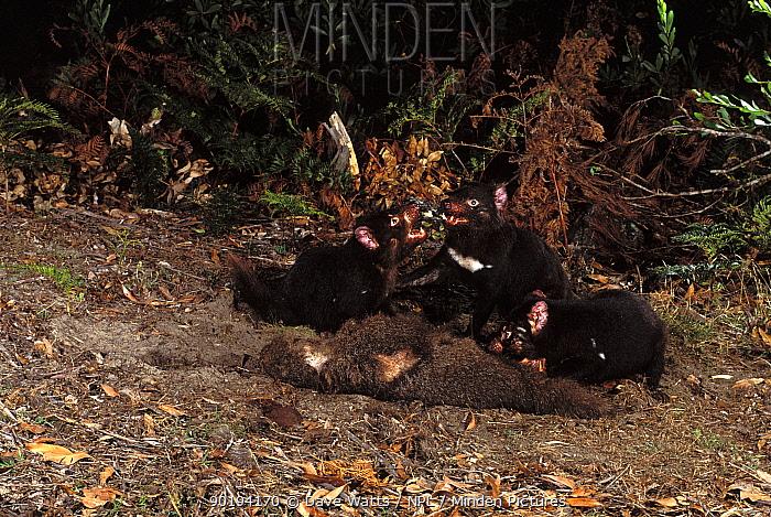 Tasmanian devils on kill (Sarcophilus harrisii) Mt Williams NP, Tasmania  -  Dave Watts/ npl