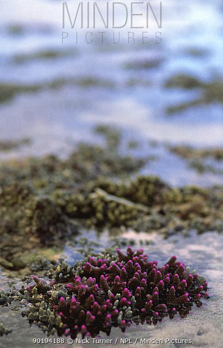Exposed coral at low tide, Eton Beach, Efate, Vanuatu, Melanesia  -  Nick Turner/ npl