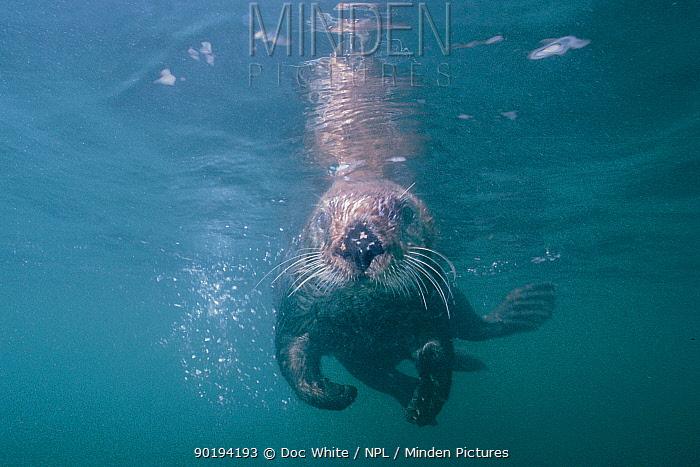 Sea otter underwater Monterey Bay captive (Enhydra lutris)  -  Doc White/ npl