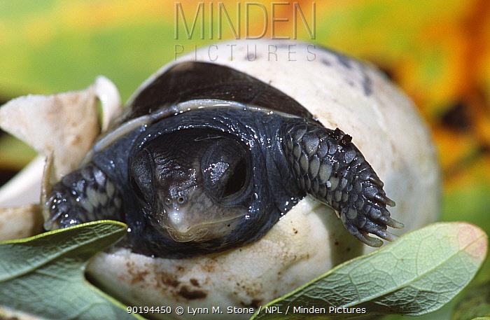 Eastern box turtle hatching from egg (Terrapene carolina carolina) Michigan, USA  -  Lynn M. Stone/ npl
