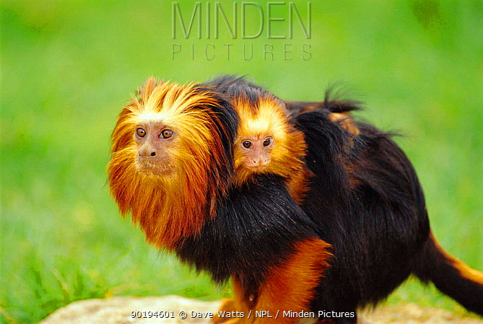Golden-headed Lion Tamarin (Leontopithecus chrysomelas) carrying young on back, Vallee des Singes, France  -  Dave Watts/ npl