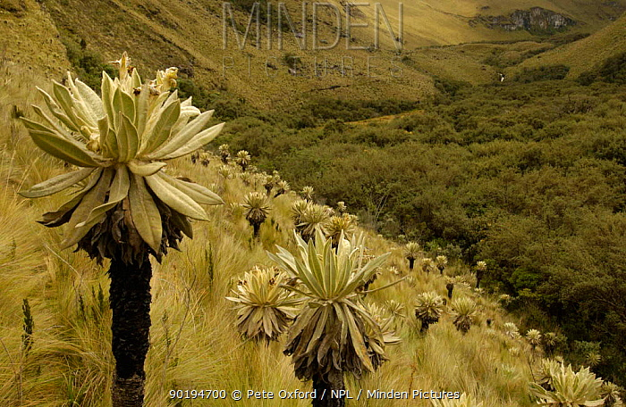 Polylepis forest in valley surrounded by Frailejones, Polylepis incana and Espeletia pycnophylla (Severely Depleted habitat in Andes) El Angel Ecological Res Paramo habitat, Carchi Province, Northern Andes, Ecuador South America  -  Pete Oxford/ npl