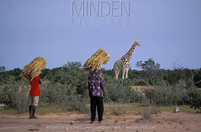 West African Giraffe In Plantation Giraffa Camelopardalis Peralta Niger