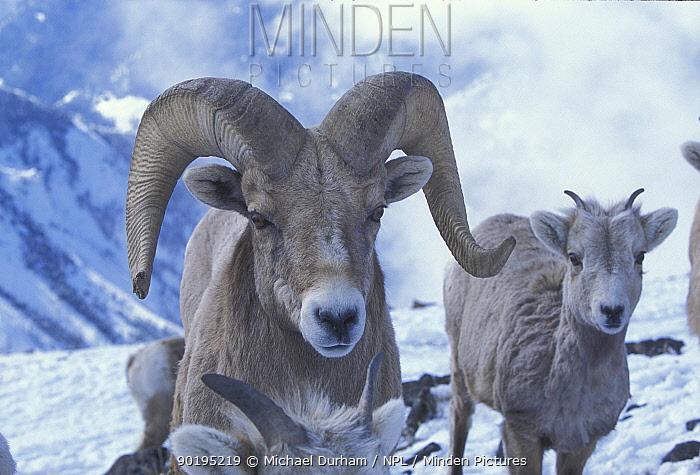 Bighorn ram (Ovis canadensis canadensis) Wallowa Mountains, Oregon, USA  -  Michael Durham/ npl