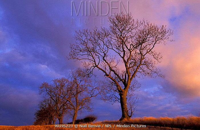 Ash tree in winter (Fraxinus excelsior) Scotland, UK  -  Niall Benvie/ npl