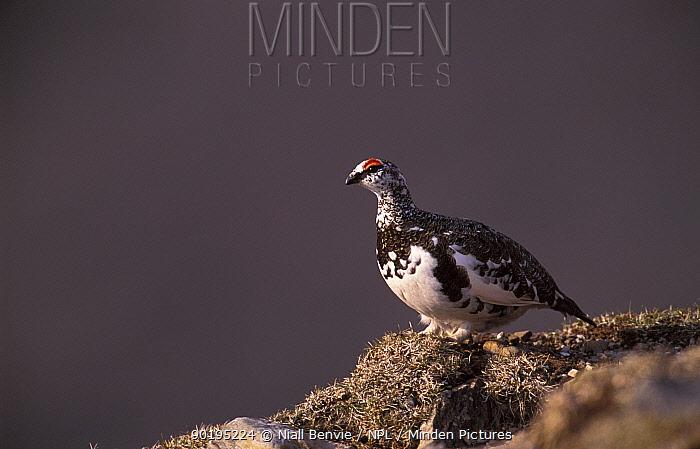 Rock ptarmigan male in spring (Lagopus mutus) Scotland, UK  -  Niall Benvie/ npl