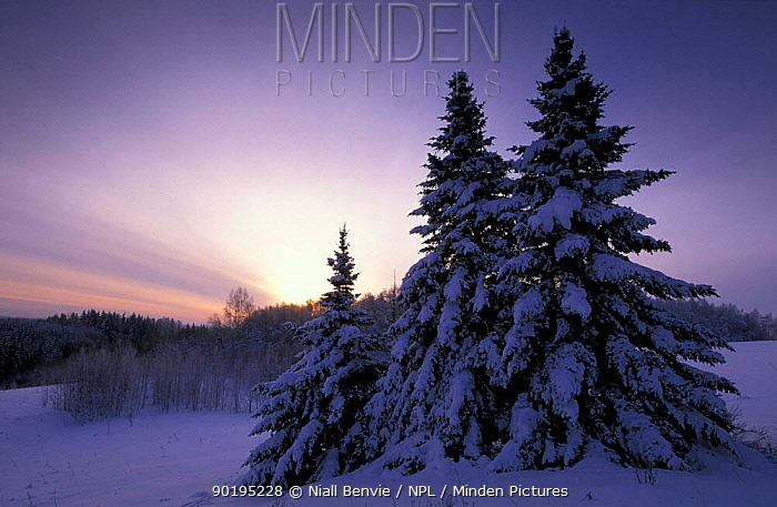 Norway spruce (Picea abies) in winter landscape at dusk, Estoni  -  Niall Benvie/ npl