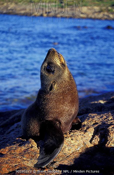 New Zealand fur seal (Arctocephalus forsteri) South Australia  -  Brent Hedges/ npl