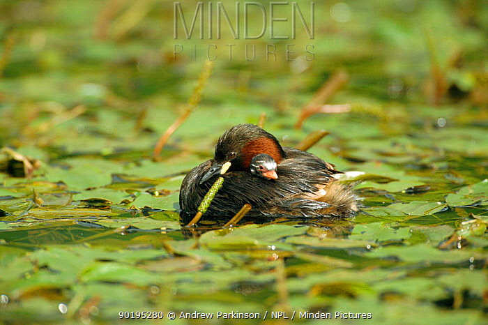 Little grebe adult carrying chick (Tachybaptus ruficollis) Derbyshire, UK Cromford canal  -  Andrew Parkinson/ npl