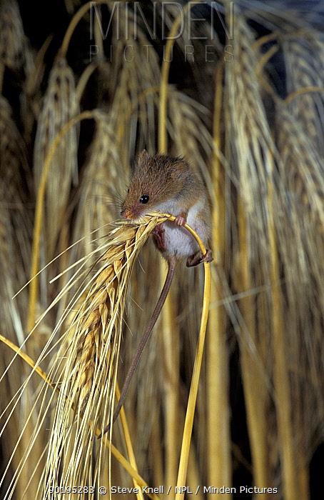 Harvest mouse on barley head (Micromys minutus) UK  -  Steve Knell/ npl