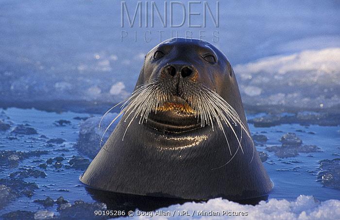 Bearded seal in melting pack ice (Erignathus barbatus) May Kongsfjord, Svalbard, Norway  -  Doug Allan/ npl