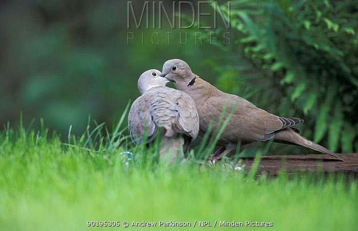 Collared dove pair courtship (Streptopelia decaocto) Crich, Derbyshire, UK  -  Andrew Parkinson/ npl