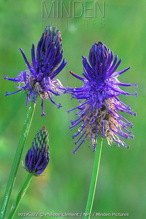 Micheli's rampion in flower (Phyteuma michellii) Gran Paradiso NP, Alps, Italy  -  Philippe Clement/ npl