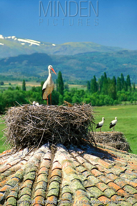 White storks nesting on roof (Ciconia ciconia) Spain  -  Philippe Clement/ npl