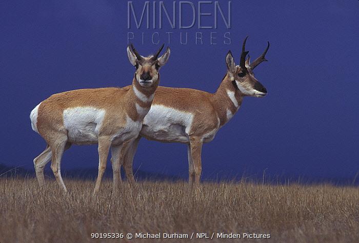 Pronghorn antelope pair (Antilocapra americana) Hart mtn NWR, Oregon, USA  -  Michael Durham/ npl