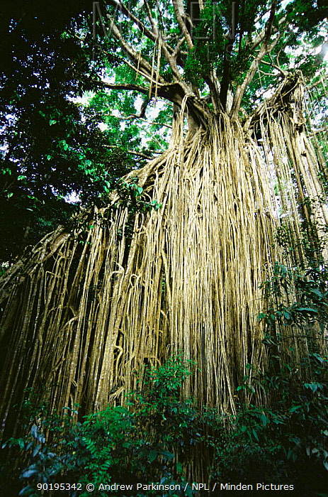 Aerial roots of Curtain fig tree (Ficus sp) Atherton tablelands, Queensland, Australia, unique specimen  -  Andrew Parkinson/ npl