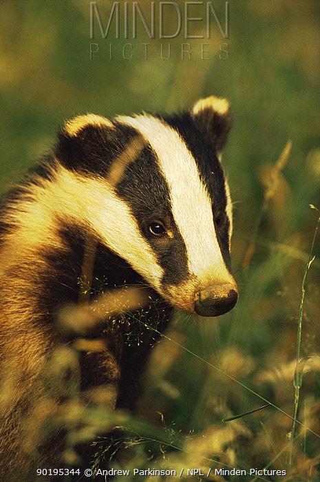 Badger cub (Meles meles) Derbyshire, UK  -  Andrew Parkinson/ npl