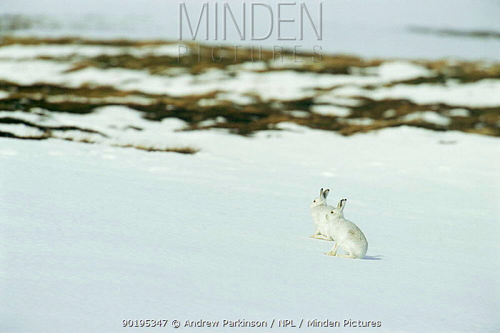 Two Mountain hares (Lepus timidus) camouflaged on snow in winter coat, Monadhliath Mountains, Scotland, UK  -  Andrew Parkinson/ npl