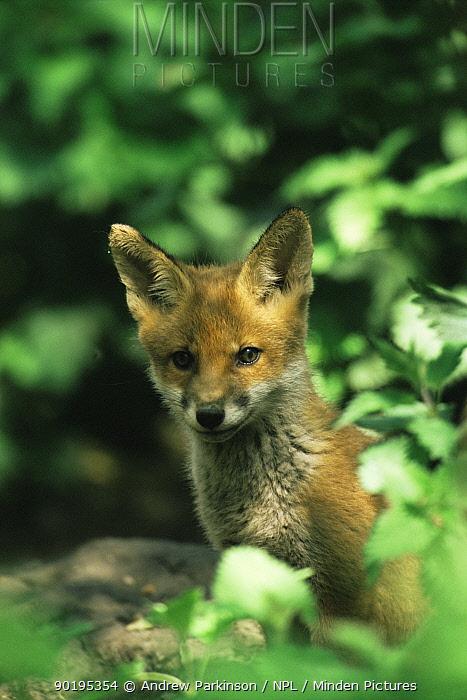 Red fox cub (Vulpes vulpes) Derbyshire, UK  -  Andrew Parkinson/ npl