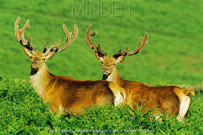 Two Red deer stags with velvet antlers (Cervus elaphus) Leicestershire, UK  -  Andrew Parkinson/ npl