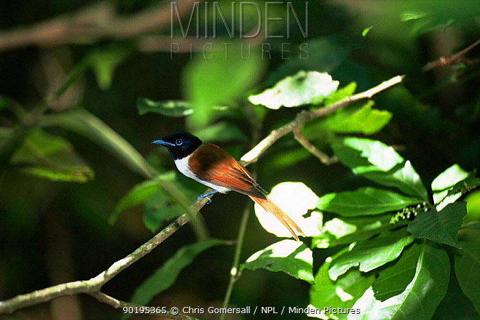 Female Seychelles paradise flycatcher (Terpsiphone corvina) Seychelles  -  Chris Gomersall/ npl